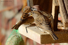 House Sparrow, Moineau domestique (Passer domesticus) - Clermont, BELGIUM (brun@x - Africa: birds & more) Tags: 2016 500f45 500mm ave aves avian avifauna avifaune belgique belgium bird birdlife birdo birdwatcher birdwatching brunoportier chim d7000 nikon ocell oiseau ornitho ornithologie ornithology portier sigma sigma500f45 uccelli uccello vogel vol vgel wild wildevogel wildlife      housesparrow moineaudomestique passer domesticus passerdomesticus house domestique sparrow moineau  uccelloaves belgi belgica passeridae passeriformes passrids passriformes