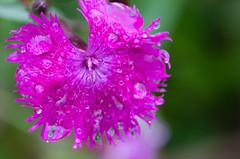 Kornblume - cornflower (Danyel B. Photography) Tags: cornflower corn flower blume petal blte blossom plant nature natur macro makro close nah details dew rain regen tau tropfen drop