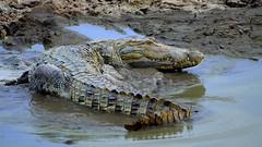 Mugger Crocodile - wildlife Sri Lanka! (Dunstan Fernando) Tags: mugger muggercrocodile muggercrocodilesrilanka wildlife animal crocodile nature dunstan sigma nikon d7000 yala yalanationalparksrilanka yalanationalpark swampcrocodile kimbula ceylonmuggercrocodile mud muddy water waterhole  krokodil    krokodl krokodille buwaya krokotiili    buaya coccodrillo   crocodilus