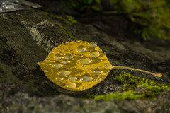 Water Drops (Nancy King Photography) Tags: aspens colorado fall leaf macro raindrops waterdrops