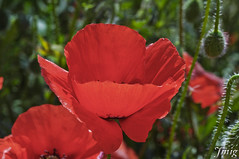 Flor018 (jmig1) Tags: zaragoza nikon d70 flor amapola ababol