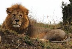 Masai Mara Male LION (welloutafocus) Tags: lion cats predator africa kenya