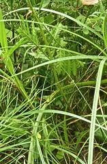 Tanacetum vulgare 11 (heinvanwinkel) Tags: 2013 anthemideae anthemidinae asteraceae asterales asterids asteroideae augustus bloemvandedag boerenwormkruid campanulids eudicotyledons euphyllophyta gunneridae heemtuin magnoliophyta mesangiospermae nederland nieuwkoop pentapetalae spermatophyta tanacetumvulgare tracheophyta