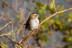 7K8A0773 (rpealit) Tags: scenery wildlife nature state line lookout whitethroated sparrow bird