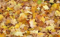 080-IMG_0265 (hemingwayfoto) Tags: ahorn blatt braun bunt farbe flickr gelb herbst herbstlaub jahreszeit laub natur park teppich