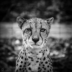 *Cheetah* (miyagimovies) Tags: blackandwhite monochrome animal outdoor cat cheetah zoo canon portrait portraiture saxony germany tierpark wild nature wildness cats close closeup tamron 300mm look eyes deep character animalportrait