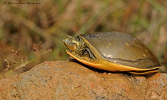 Indian Flapshell Turtle (Dr. Nishith Kumar Photography) Tags: drnishithkumarphotography drnishith nishith nationalgeographic nationalgeographicworldwide nationalgeography sgpgims sgpgi sigma safari sigma150600contemporary sigma150600c sigma150600 lucknow reptile amphabian indianflapshellturtle turtle animalplanet aperture actionshot bokeh bg discovery india canon canon60d goldenhour goldenlight