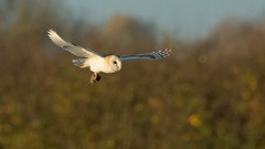 Barn Owl, with prey (KHR Images) Tags: barn owl barnowl tytoalba inflight flying withprey sunshine sunlight autumn glow wildlife nature wild bird birdofprey nikon d7100 cambridgeshire eastanglia kevinrobson khrimages