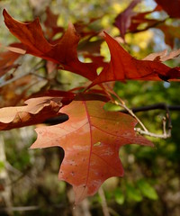 Northern Red Oak (Dendroica cerulea) Tags: northernredoak redoak quercusrubra quercus fagaceae fagales tree oak leaf red foliage autumn highlandparkmeadows highlandpark middlesexcounty nj newjersey