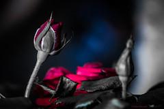 Selective Colored Petite Roses (PeaTree Creations) Tags: petiterosebud miniaturerose petiteroses debrapetrephotography peatreecreations nature flowers flowerphotography selectivecoloring redrosebud