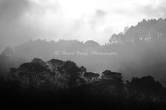 Mist_DSC5739 (hervv30140) Tags: france languedoc landscape nature mist twilight sunrise pine forest black white fog haze backlight morning hazy smoky weird uncanny