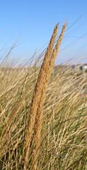 American Beachgrass (Ammophila breviligulata Fernald) 11-17-2016 Betterton Beach, Kent Co. MD 3 (Birder20714) Tags: plants maryland grasses poaceae ammophila breviligulata