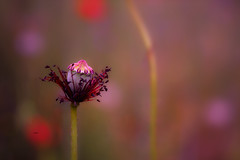 """Dressed for life.."" (Ilargia64) Tags: poppy poppyseed pink fineart abstract bokeh nature flowers macro amayasanchez"