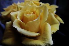 Una rosa gialla per te! (ninin 50) Tags: rosa gialla ninin