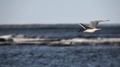 Vol solitaire / Solitary Flyby (deplour) Tags: dunedebouctouche cocentreirving dune mer sea dtroit northumberland strait vagues waves goland seagull vol solitaire solitary flyby
