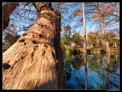 "Cypress Trunk • <a style=""font-size:0.8em;"" href=""http://www.flickr.com/photos/19658346@N02/31183136192/"" target=""_blank"">View on Flickr</a>"