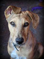 Ronni (MaPeV) Tags: perro dog cachorro ronni piti perrito bigotes rescatado criollo