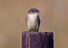 Eastern Pheobe (1krispy1) Tags: flycatchers tyrantflycatchers phoebe easternphoebe texasbirds