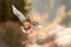 Im Anflug (Klaus Steinert) Tags: ente duck animal platinumheartaward ngc