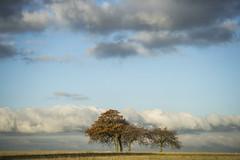 An Autumnal Charlton Clump (stevedewey2000) Tags: salisburyplain wiltshire landscape trees spta sptacentre copse stand cloudscape clouds skyscape minolta100200