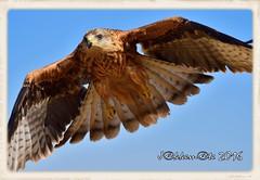 MILANO REAL (Milvus milvus) (JORGE AMAYA BUSTAMANTE) Tags: jorge amaya bustamante jakkemate nikon d500 sigma 150500 milano real milvus birds aves photonature wildlife