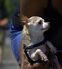 Carried (Scott 97006) Tags: dog petite small tiny frail wet carried cute timid bokeh