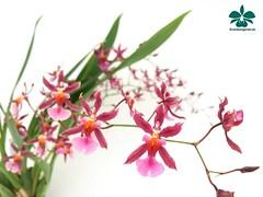 Oncidium Katrin Zoch #orchids #Orchidee #Orchideen #OrchIDEENgarten #orqudea #orqudeas #orchides #orchide #orchidej #orchideje #orkid #orkider #storczyki #storczyk #nature #naturelovers #iloveorchids #loveit #Blumen #colourful #colours #orchidacea #f (orchideengartenkarge) Tags: orchid orchids orchideengarten flowers flower blume blumen orchideen flores orquideas orkideer
