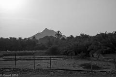 Oasis by the mountain... (EHA73) Tags: aposummicronm1250asph leica leicamm typ246 blackandwhite bw monochrome travel hatta dubai uae mountain oasis palms palmtrees farm fence