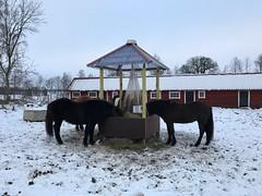 Grabbarna håller sig på sin kant… (Patrick Strandberg) Tags: iphone iphone7 hästar horses islandshästar icelandichorses eilifur benji katina tanner berga östergötland sweden
