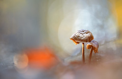 (MichaSauer) Tags: pilze mushrooms champignons makro macro