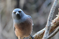 Woodswallow (MorrieNz2013) Tags: canon wildlife ngc australia 100v10f npc queensland farnorthqueensland supershot woodswallow angrybirds specanimal 60d canon60d avianexcellence 100commentgroup blinkagain dblringexcellence tplringexcellence bestofblinkwinners blinksuperstars bestofsuperstars blink4gallery