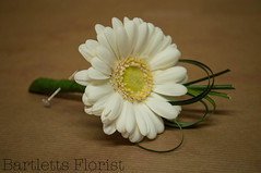 Mini gerbera white buttonhole (Francesca Delanty-Granger Photography) Tags: white green grass yellow small cream mini gerbera florist buttonhole florists borwn
