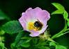 Pollen Count (Stephen Whittaker) Tags: flower nikon bee pollen d5100 whitto27
