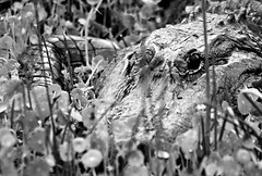 american alligator 25-13x19 print 1 (jrivard07) Tags: wild nature animal fauna eyes florida reptile wildlife alligator american scales predator largo