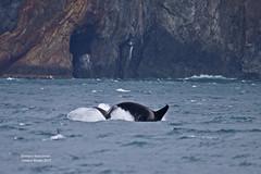 Seward Orca_MG_2716 (bud_marschner) Tags: alaska orca killerwhale seward