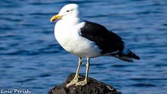 Gaviota Dominicana (lpcortesfotografias) Tags: ocean chile birds mar zoom sony aves caldera atacama animales seashore semipro dschx200v