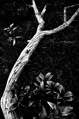 Arboreo crocicchio (bebo82) Tags: blackandwhite bw tree grass leaves foglie pentax dry erba albero biancoenero secco pentaxk20d pentaxk20 crasso