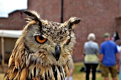 Eurasian Eagle Owl (?) (alun.disley@ntlworld.com) Tags: people nature birds animals festival liverpool outdoors exhibit demonstration event owls albertdock merseyside nikond5100 3peaker