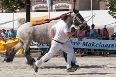 DSC_2425 (Ton van der Weerden) Tags: horses horse dutch de cheval belgian nederlands belges draft chevaux belgisch trait ijzendijke trekpaard trekpaarden celestevanderoute