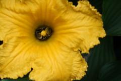 Bourgondisch (saskiavr) Tags: flower garden pumpkin bumblebee tuin hommel bloem pompoen