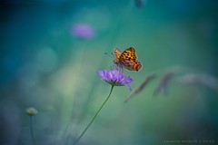 Blue Moon Butterfly part II [explored] (icemanphotos) Tags: flowers blue sunset orange sunlight flower green colors beautiful butterfly interesting view bokeh top tiger details dream naturallight best explore winner dreamy magical explored bokehlicious icemanphotos