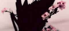 (Vampyyri.Lauri) Tags: flores laura primavera spring flor petalo ciruelo tudela lauratudela