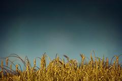 Wheat (JGo9) Tags: blue sky food rural golden farm wheat harvest supply