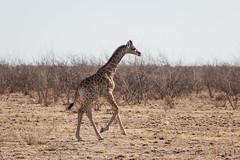 IMG_8860 (jrgold) Tags: giraffe calf namibia etosha