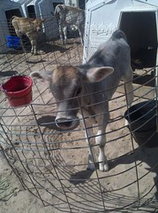 (J. Nisly) Tags: cattle cows dairy brownswiss