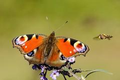 Incontro (giansacca) Tags: butterfly insects lepidoptera papillon mariposa farfalla insetti diptera farfalle inachisio dittero lepidottero vanessaio sirfide occhiodipavone