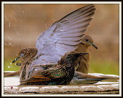 bathing starling provides shower for Dove's underwing (Kaptured by Kala) Tags: bird nature water birds shower drops birdbath dove wing starling bathing splash kala doves europeanstarling whitewingdove kalaking kapturedbykala adultmaleeuropeanstarling