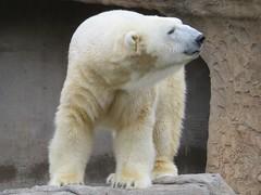 Polar Bear 3 (Patricia Henschen) Tags: zoo polarbear denverzoo citypark denvercolorado