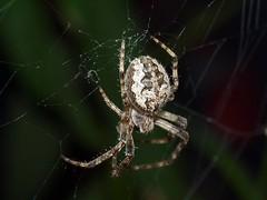 P8044259 (hxjdxs) Tags: macro nature beautiful spider dangerous makro vision:night=0604