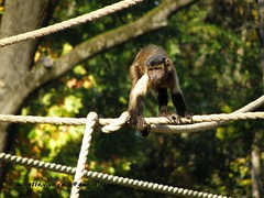 Capuchin monkey (Miroslav Vajdi) Tags: africa birds animals amazing fantastic best crocodile snakes no1 unbelievable wildanimals photooftheday hypo greatnature freeimage freelicence m1r0slavzg miroslavvajdic